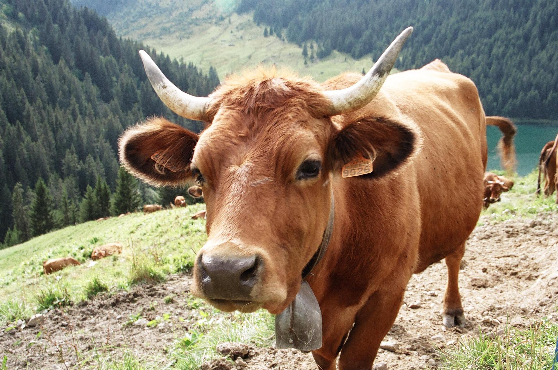 vache tarine fromage restaurant l'estanco val cenis